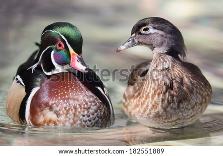 Wood duck pair on log - stock photo