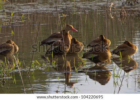 Wood Ducks at Creekfield Lake.  Home to Alligators and a Multitude of Wildlife.  Brazos Bend State Park, Texas. - stock photo