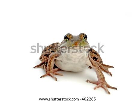 Wood Frog, Rana sylvatica  (macro, isolated, 12MP camera). - stock photo