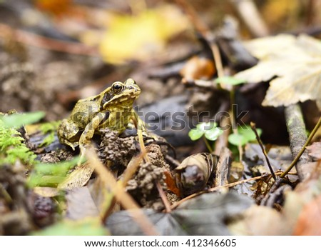 Wood frog sitting on an autumn forest floor. Nature scene with copy space and selective focus. - stock photo