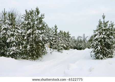 Wood from evergreen trees covered by a snow on a background of the cloudy sky - stock photo
