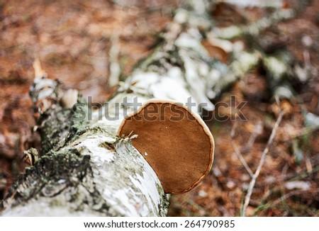 Wood fungus on fallen birch trunk, shallow depth of field shot - stock photo