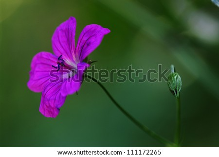 wood geranium, wood crane's-bill flower - stock photo