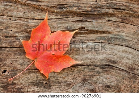 wood grain curves around a changing maple leaf. dead tree is the final resting place for a fallen red maple leaf - stock photo