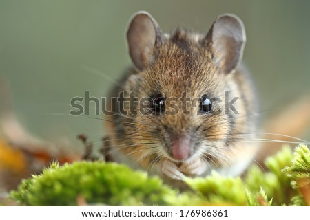 Wood Mouse (Apodemus sylvaticus) - stock photo