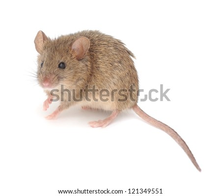 Wood mouse  isolated on a white background - stock photo