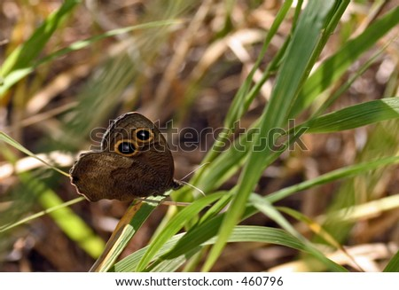 Wood Nymph Resting on Blade of Grass in the Black Hills of South Dakota - stock photo