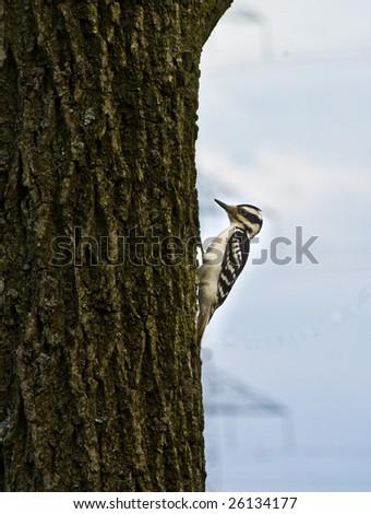 Wood pecker pecking on a tree - stock photo