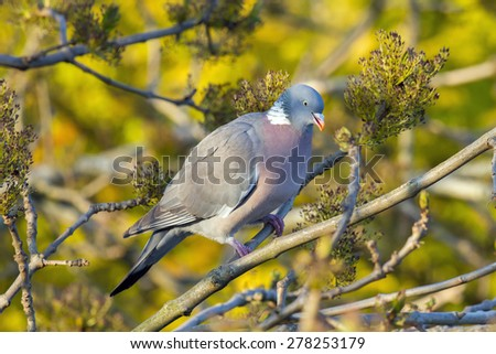 Wood pigeon eating seeds from a tree - stock photo