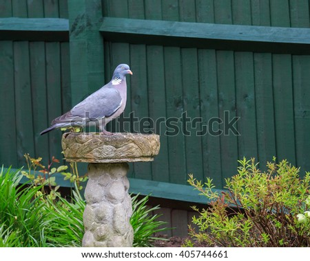 Wood Pigeon Perched On A Ornamental Birdbath In An English Garden
