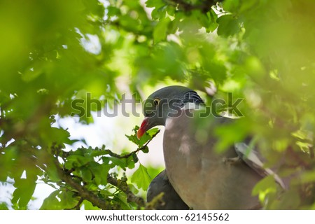 Wood Pigeon sitting inside the tree - stock photo