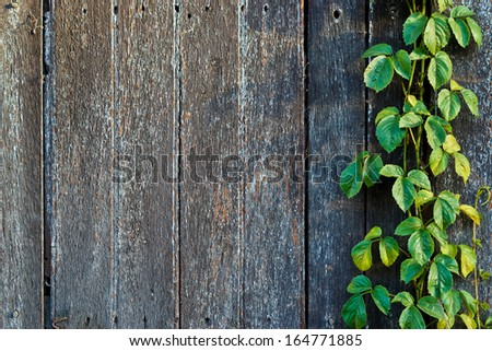wood plank wall texture with vine at the edge - stock photo