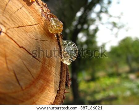 Wood resin felled trees - stock photo