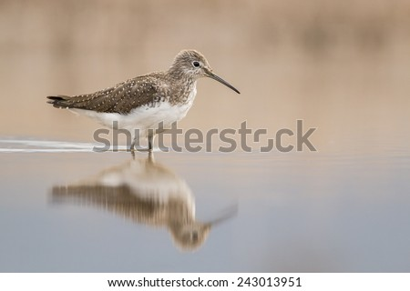 Wood sandpiper and nice background - stock photo