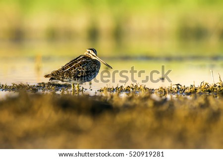 Wood Sandpiper  in water habitat on nature background Common Snipe / Gallinago gallinago