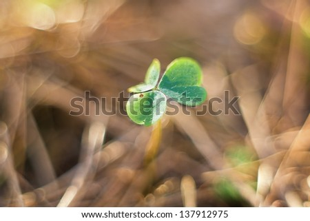 wood sorrel  close-up