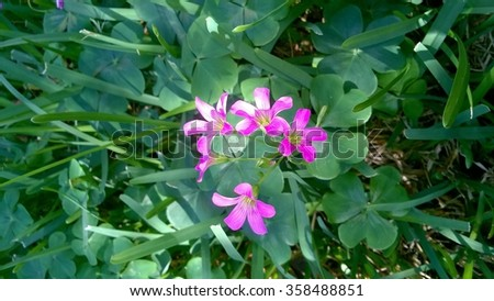 Wood sorrel in bloom  - stock photo