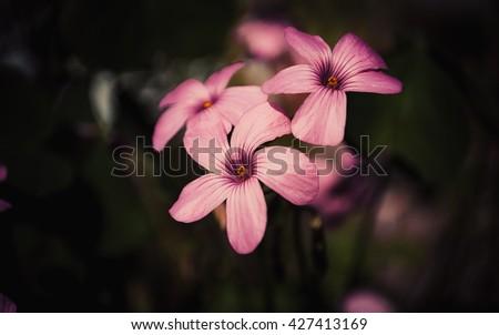 wood sorrel pink flower close up on dark background - stock photo