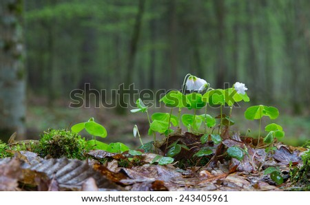 Wood-sorrel plant closeup against fuzzy forest stand background - stock photo