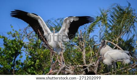 Wood stork family begins next building - stock photo