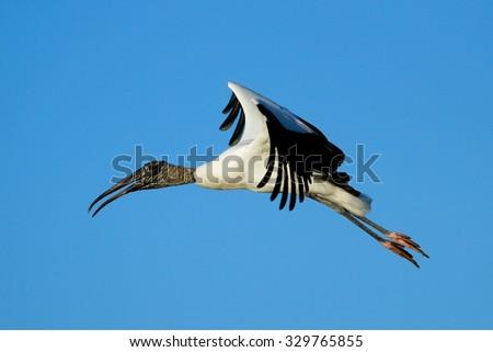 Wood stork (Mycteria americana) flying in blue sky - stock photo