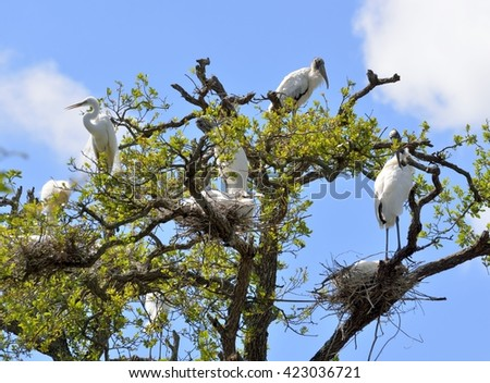 Wood Storks in the wild nesting their young at Florida, USA.
