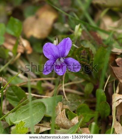 Wood Violet or Dog Violet in woodland in springtime - stock photo