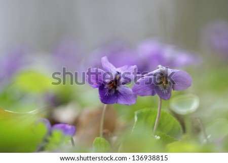 Wood violets flowers close up