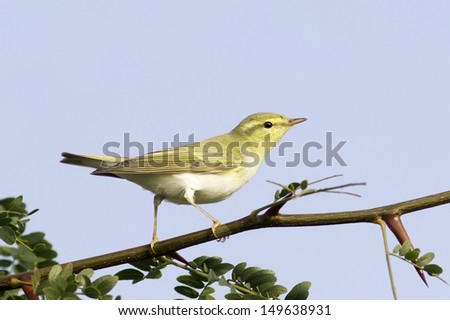wood warbler in natural habitat / Phylloscopus sibilatrix - stock photo