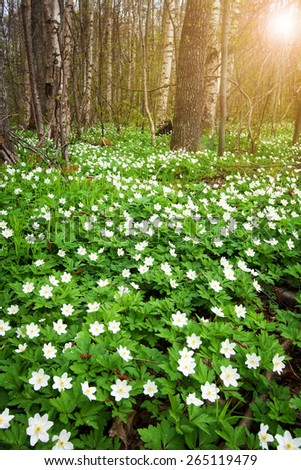Wood with lots of white spring flowers - stock photo