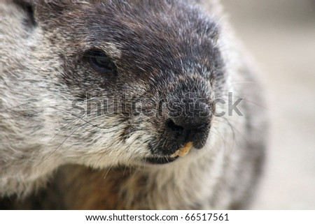 Woodchuck Close Up