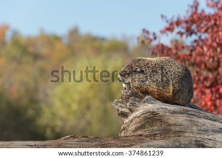 Woodchuck (Marmota monax) Against Sky - captive animal
