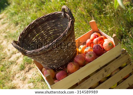 wooden boxes full of ripe apples - stock photo