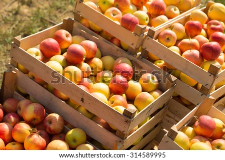 wooden boxes full of ripe apples