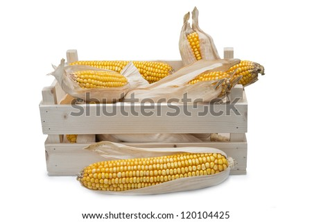 Wooden crate full of corn ears isolated on a white background - stock photo