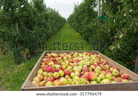 wooden crate full of ripe apples during the annual harvesting period in the betuwe, netherlands - stock photo