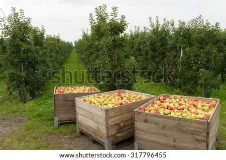 wooden crates full of ripe apples during the annual harvesting period in the betuwe, netherlands - stock photo