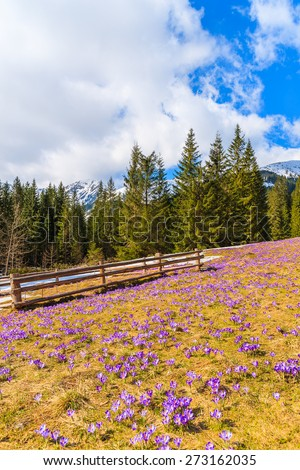 Wooden fence on pasture with blooming crocus flowers in Chocholowska valley, Tatra Mountains, Poland - stock photo