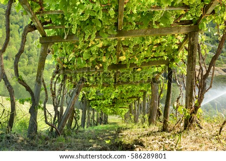 wooden grape arbor supporting vines heavy with green grapes, view from  below, mountain vineyard