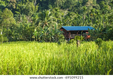 wooden home and paddy rice , betel palm at  Chumphon Province , Thailand