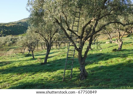 wooden ladder leaning against an olive tree - stock photo