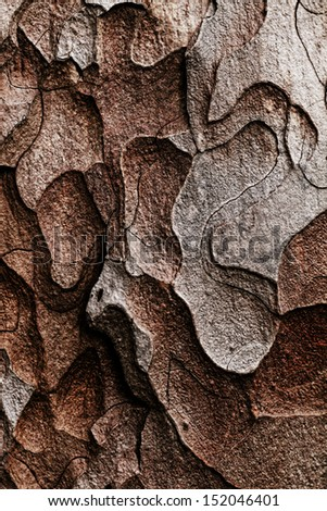 Wooden texture. Crimean pine tree, close-up view. - stock photo