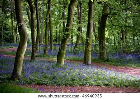 Woodland with bluebells - stock photo