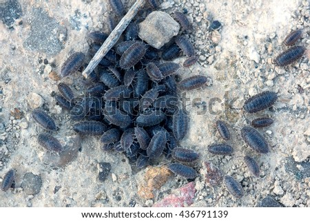 Woodlouse (plural woodlice),  pill bug or roly-poly