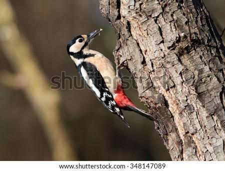 Woodpecker bird in nature - stock photo