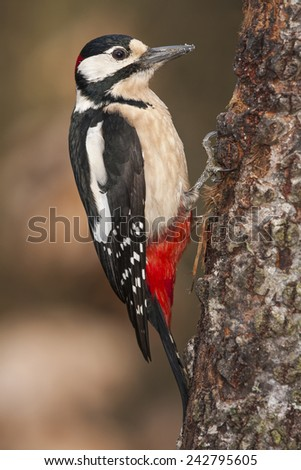 Woodpecker (Dendrocopos major) perched on a log - stock photo