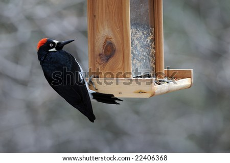woodpecker on feeder - stock photo