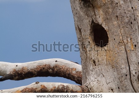 Woodpecker's nest hole in the trunk of a Ponderosa Pine tree with blue sky in the background Northern Washington state, in the Pacific Northwest, near the Canada border Northern Flicker cavity nest  - stock photo