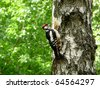 Woodpecker sits on the trunk of birch - stock photo