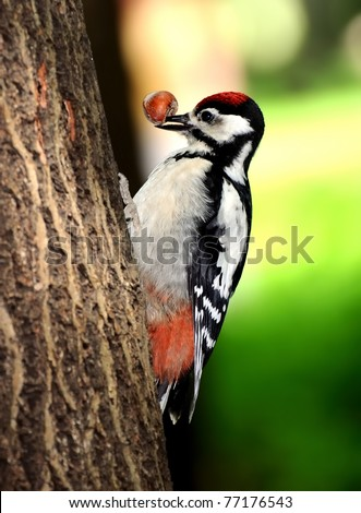 woodpecker with a nut on the bill